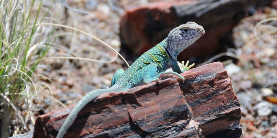 A green lizard stands on a petrified log in the Petrified Forest Arizona.