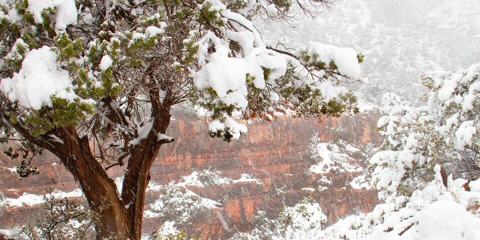 Snowy trees in front of a red canyon during the Arizona winter.