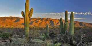 Saguaro Cactus Facts That Show Why They Are The Coolest Cacti