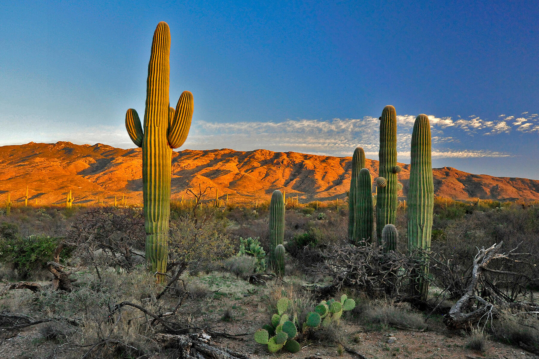 Here's Why Saguaros Are the Coolest Cacti