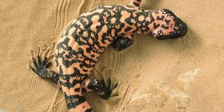 6 Awesome Facts You Didn't Know About Gila Monsters