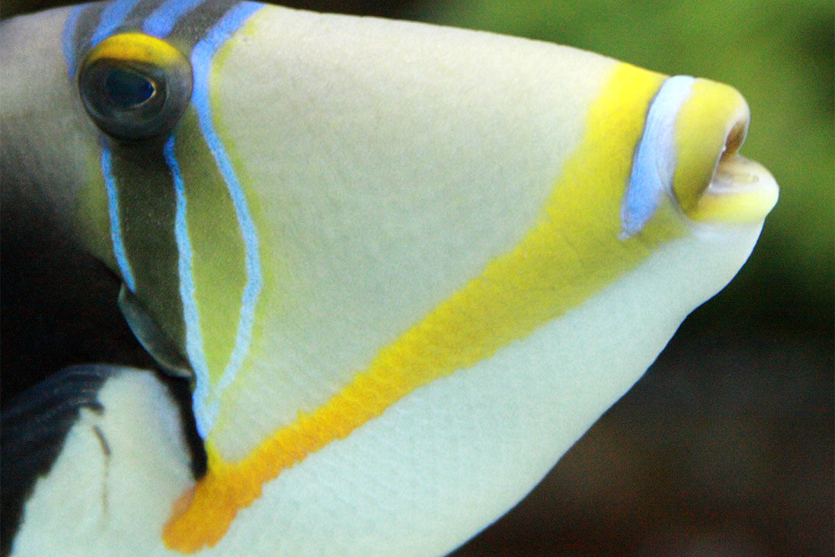 5 Crazy Facts About This Hawaiian Fish Whose Name Is Longer Than It Is!