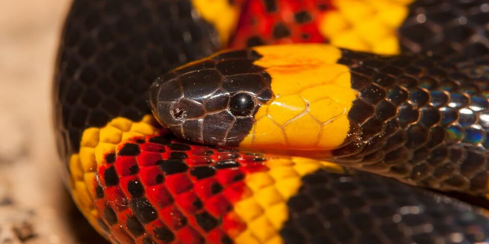 The Sonoran Desert Coral Snake - Photo by Jason Penney
