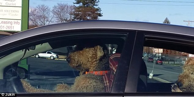 A dog in the driver's seat of a sedan honking the horn. Virginia Citizens Must Honk Their Horn While Passing Other Cars.