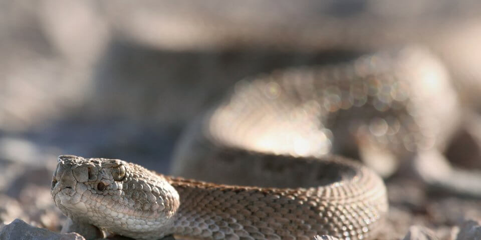A dangerous animal: a rattlesnake at Bosque Del Apache, New Mexico - Photo by Pat Gaines