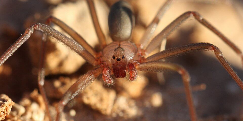 Brown recluse spider - Photo by Jason Penney