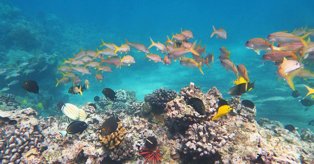 Reef fish swim over coral