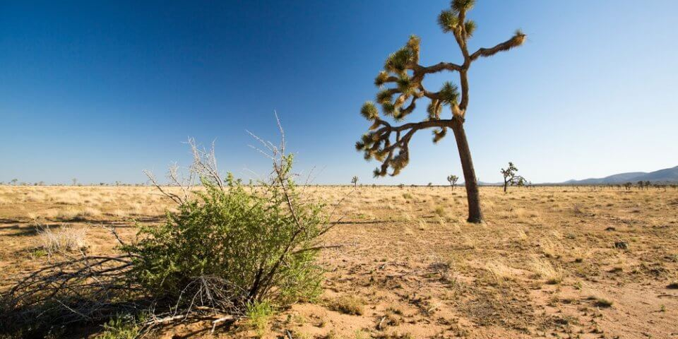 A lone Joshua Tree sways in the wind at Joshua Tree National Park.