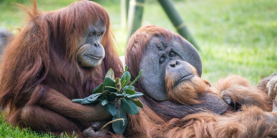 Orangutans relax at the San Diego Zoo.