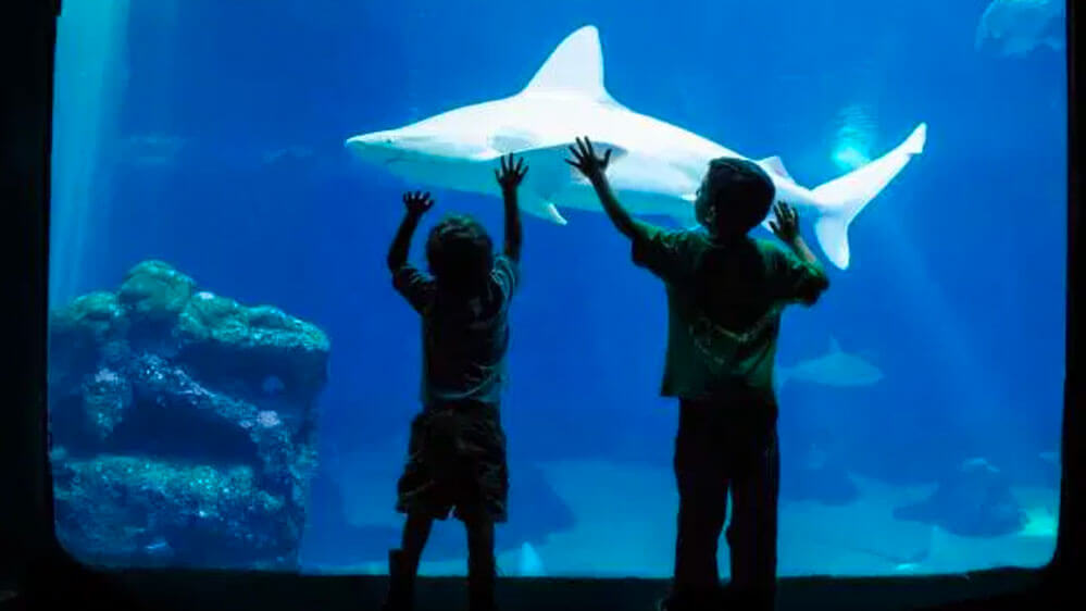 the silhouettes of two young boys contrasts against the backdrop of a large oceanic white shark at the Maui Ocean Center