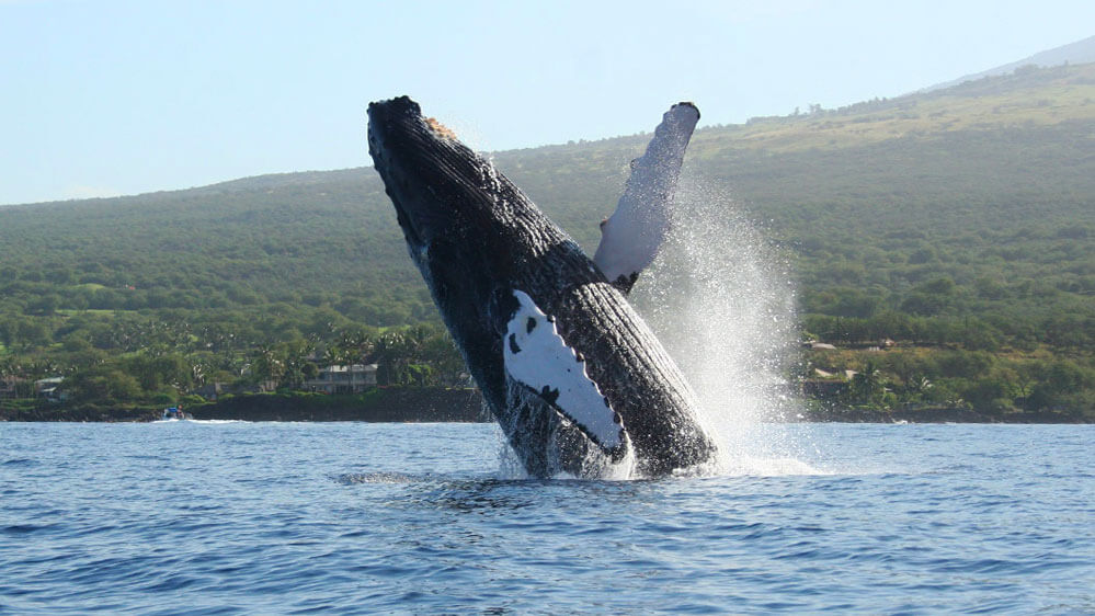 Humpback whale breaches in Maalaea Bay with road to Kihei in the background