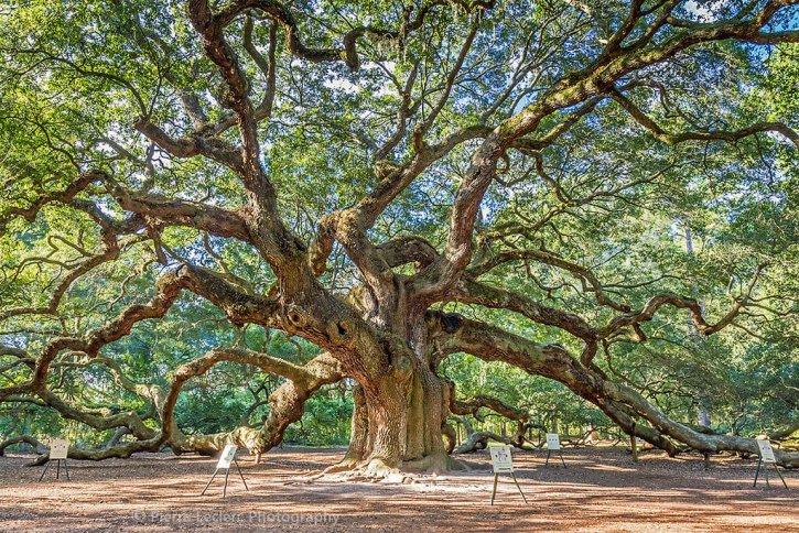 Angel Oak Tree Charleston