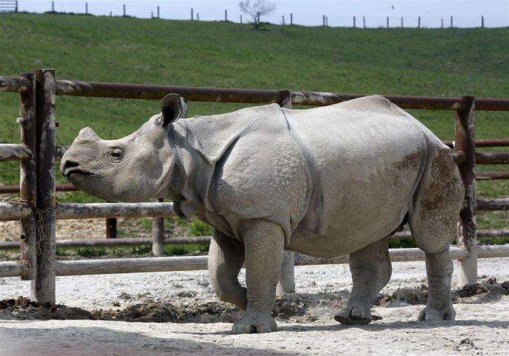 Toledo Zoo Indian Rhino