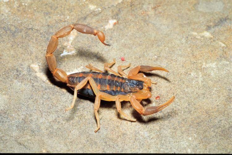 striped bark scorpion in texas