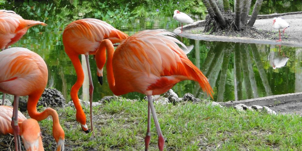 Flamingos in the Flamingo Gardens in Fort Lauderdale.