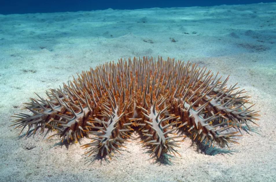 Dangerous Crown of Thorns Starfish in Hawaii