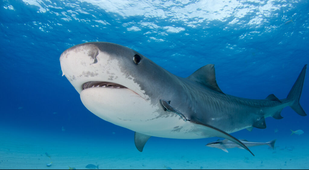 Dangerous Tiger Shark in Hawaii