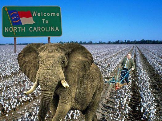 elephant cotton field