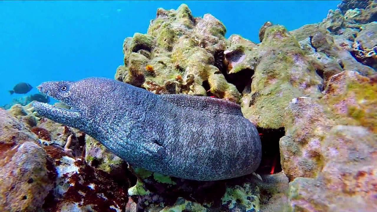 Dangerous Eels in Hawaii