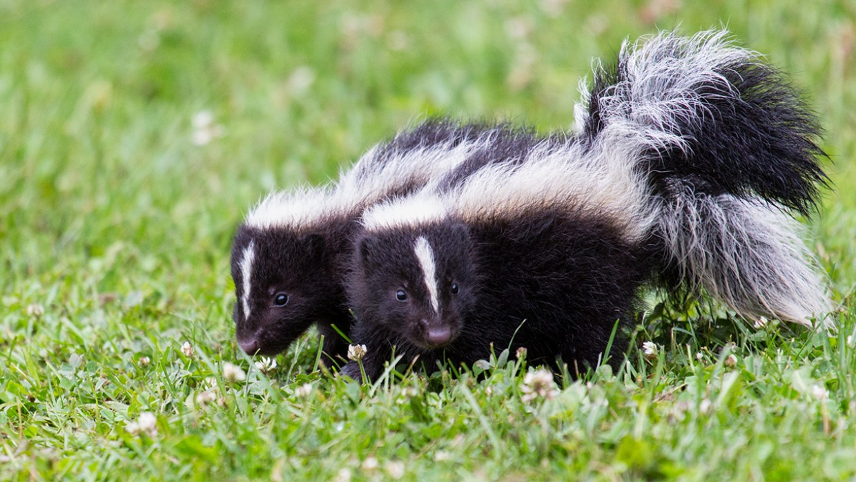 illegal to tease skunks