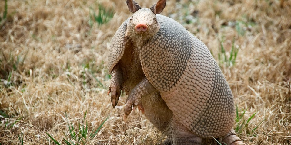 Strangely enough, armadillos are some of the most dangerous animals in Texas.