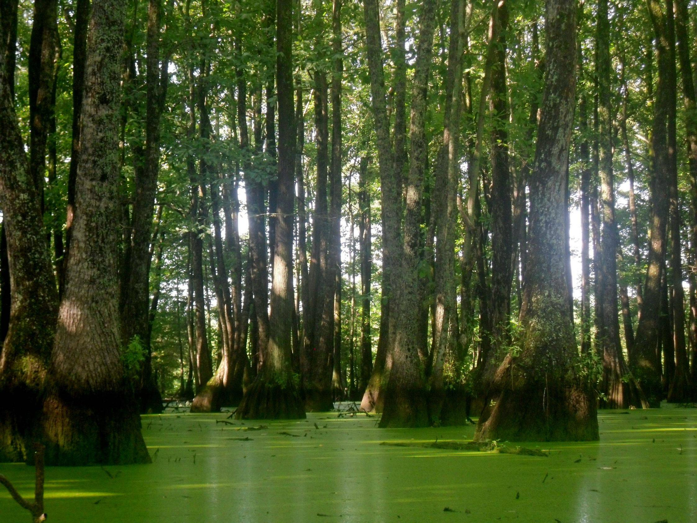 Mississippi Swamp