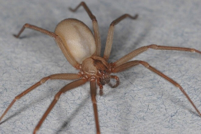 brown recluse in florida