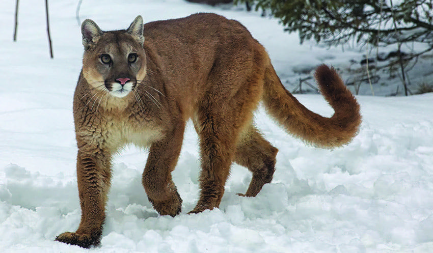 A cougar walks in the snow. Cougars are some of the most dangerous animals in Texas.