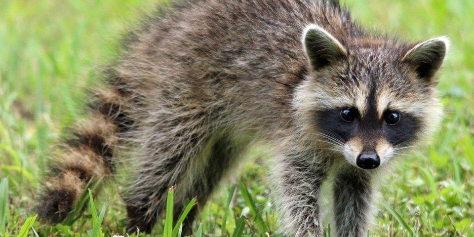 Raccoons are dangerous animals in Texas.