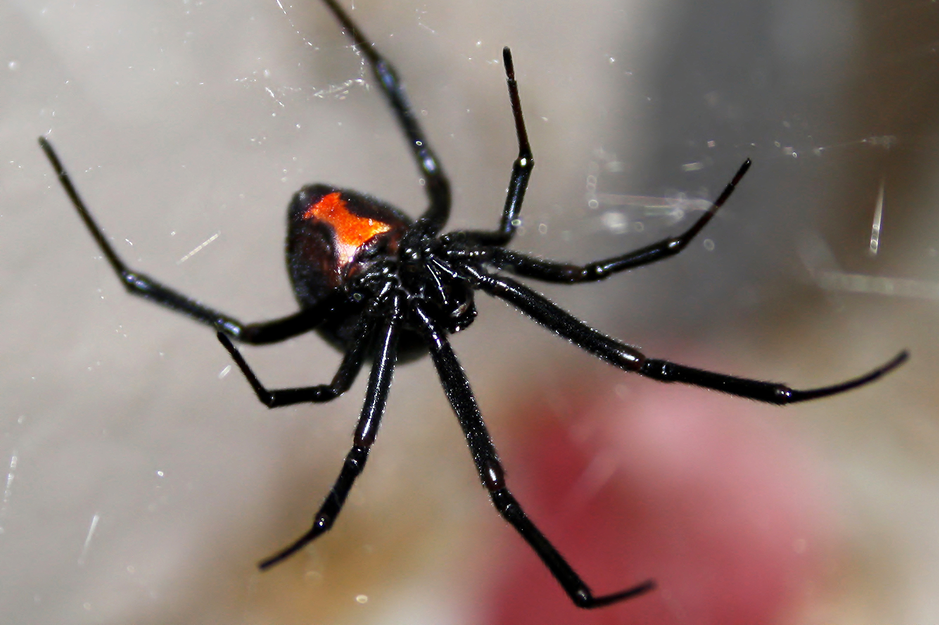 The black widow spider is a dangerous animal in Texas.