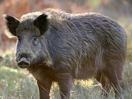 wild boars in Florida