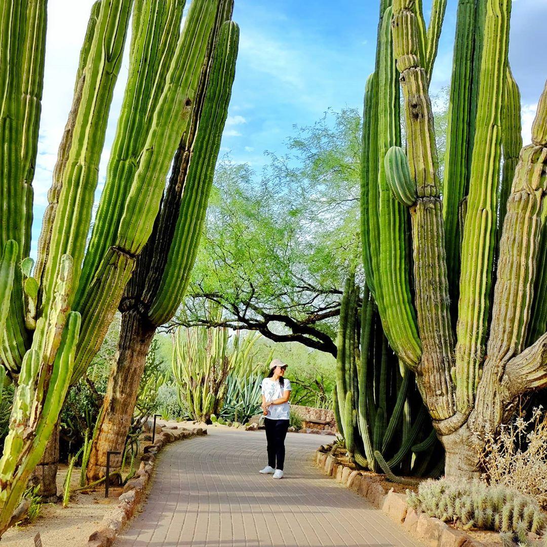 Huge Cactus Photos wonderland arizona