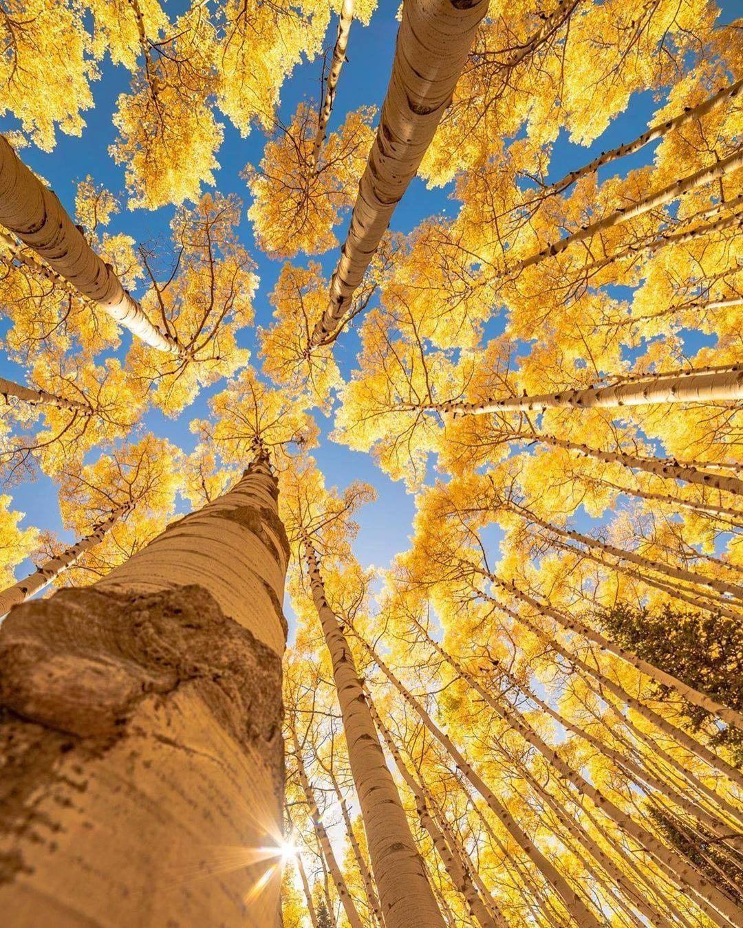 aspen trees az