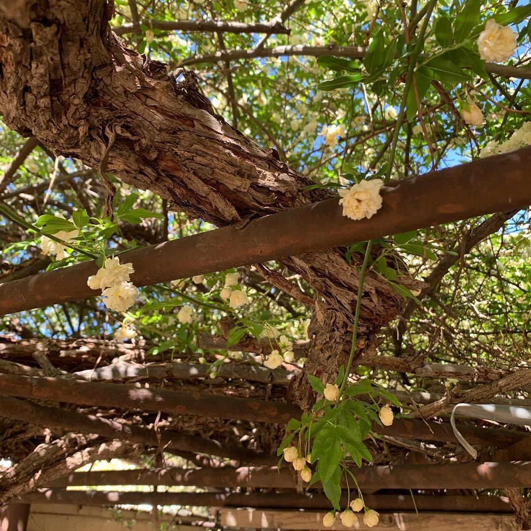 Rose Tree blooms az