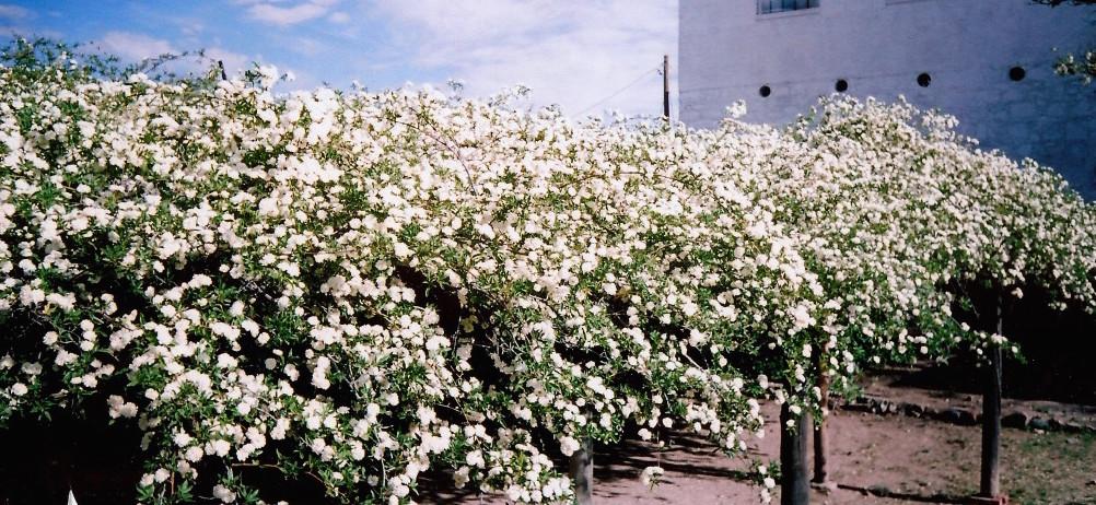 Rose Full Bloom az