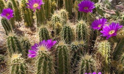 Tucson Botanical Gardens cactus flowers in arizona beautiful blooms