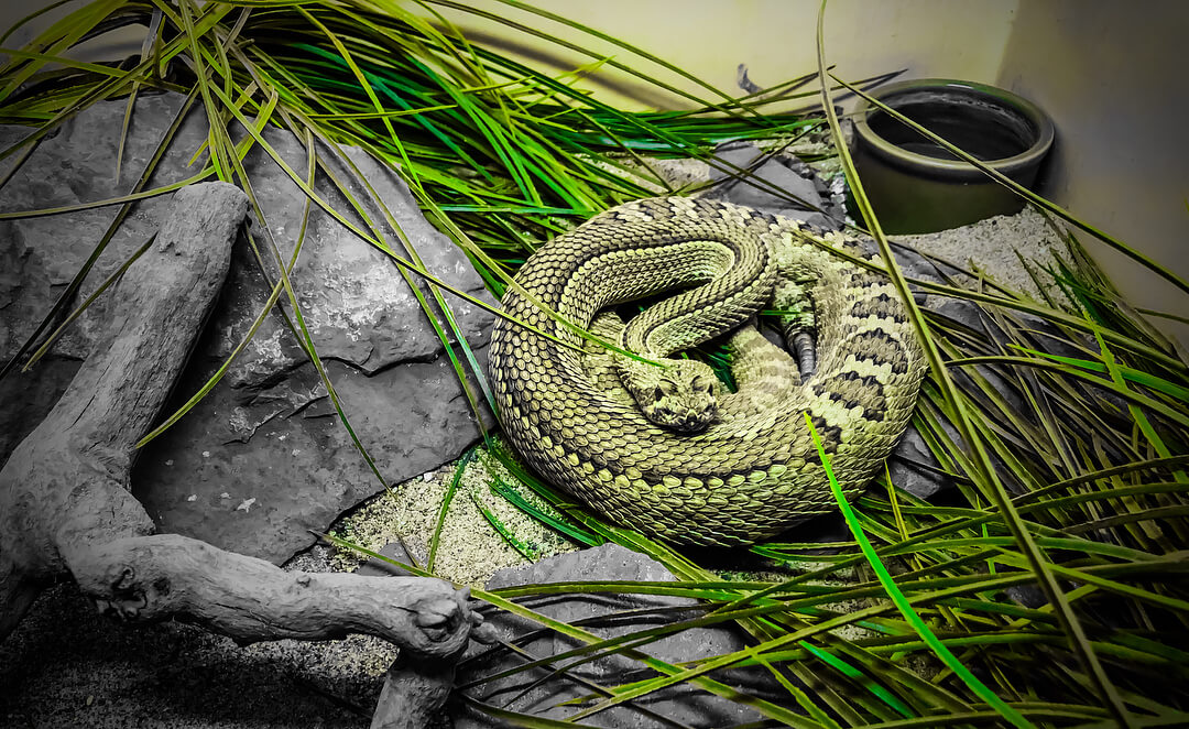 rattlesnake museum in new mexico