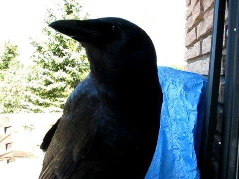 joe talking raven nm