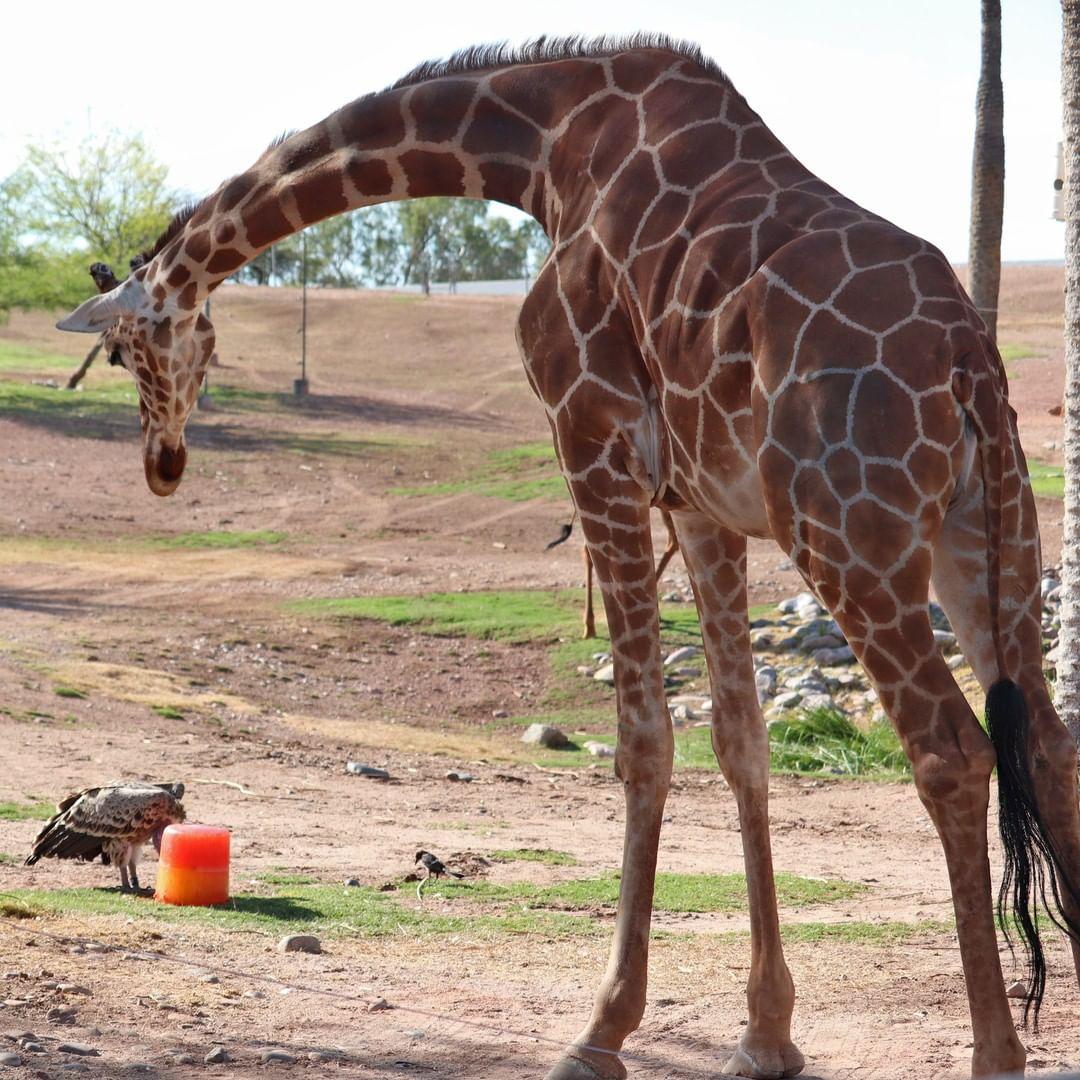 Giraffes in Phoenix Zoo