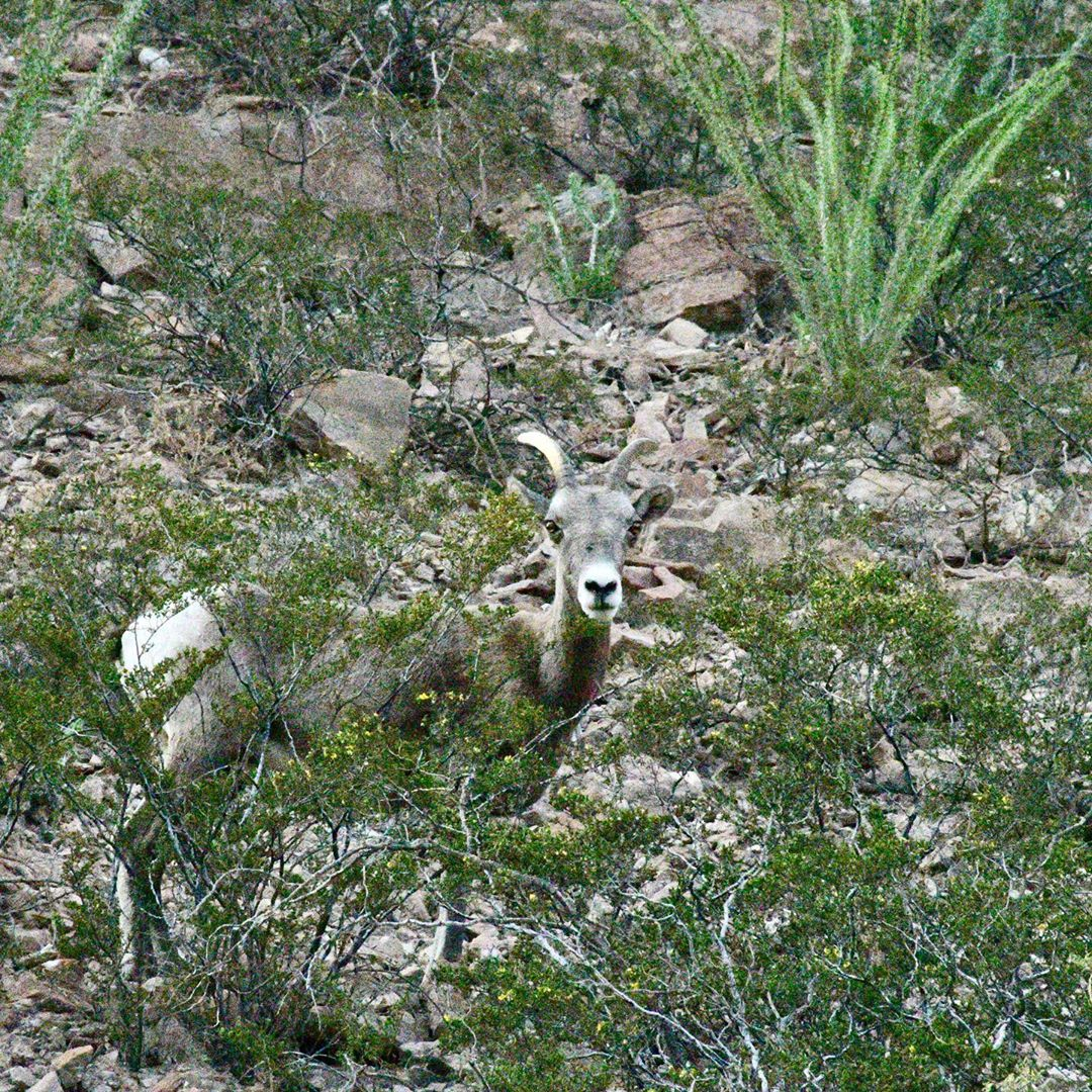 Sheep in arizona road