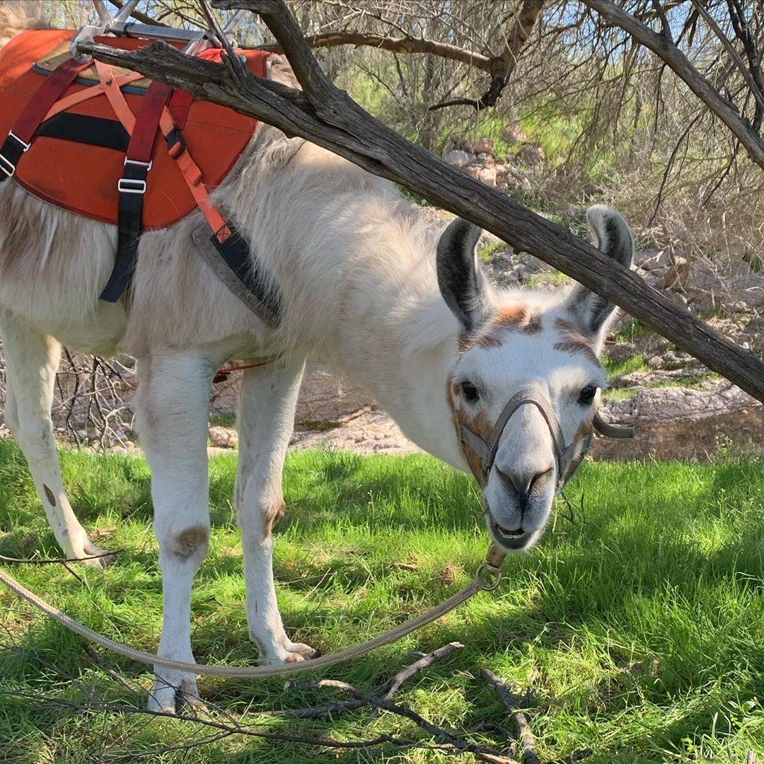 llama cute photo