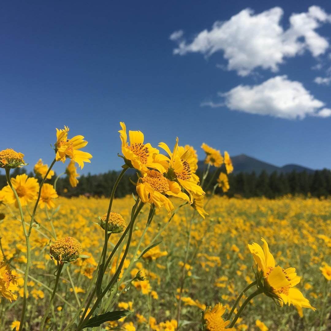 Arizona sunflower spots