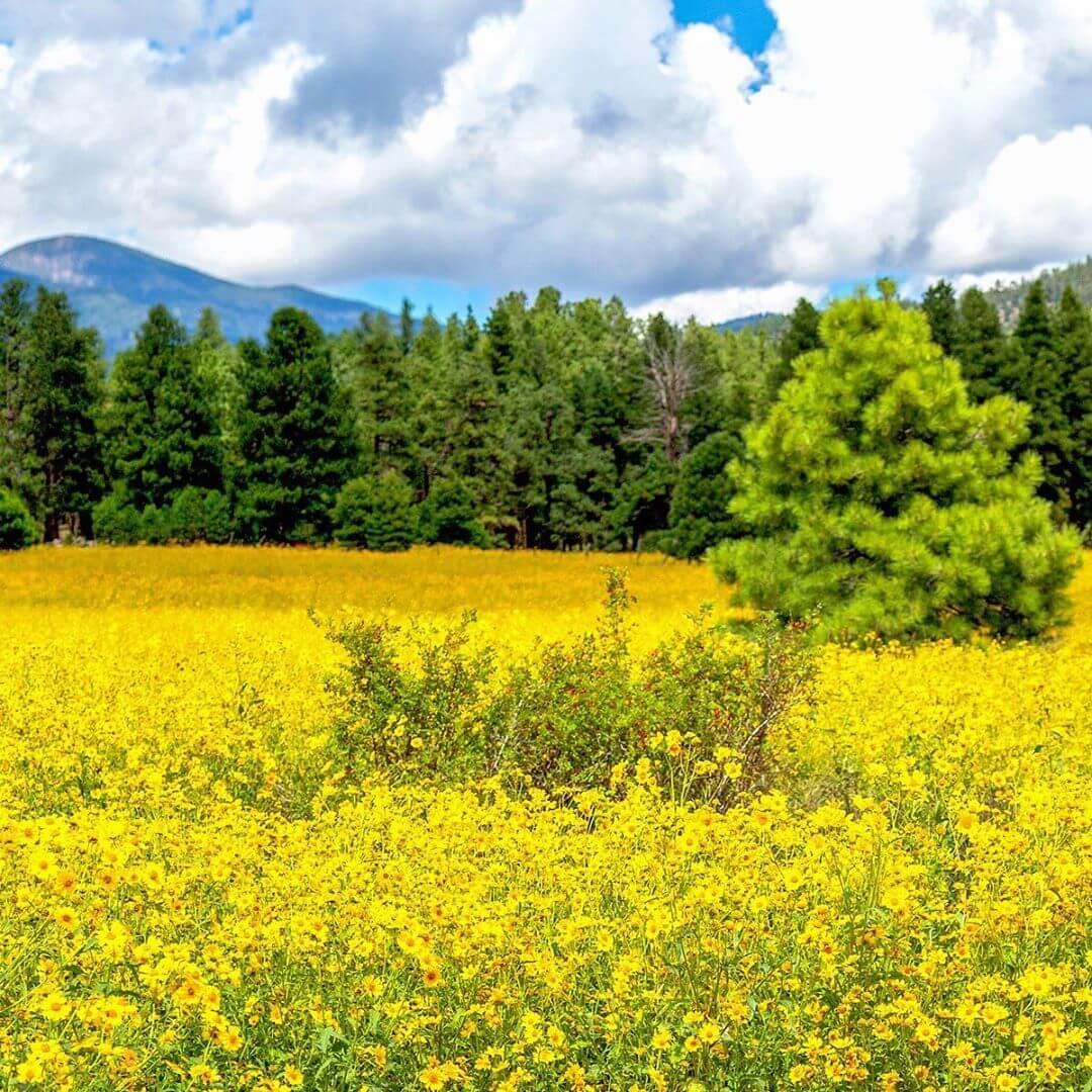 Flower Field Flagstaff az