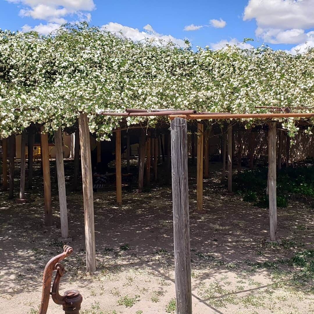 Rose Tree arizona
