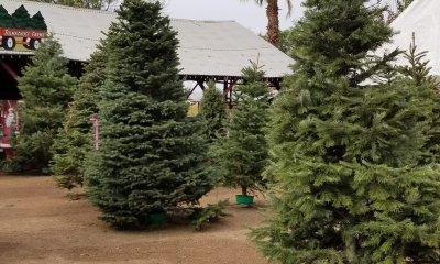 Tolmachoff Farms best Christmas Tree Farms in Arizona